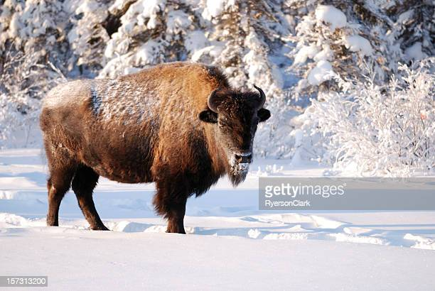winter bison in canada's northwest territories. - buffalo stock pictures, royalty-free photos & images