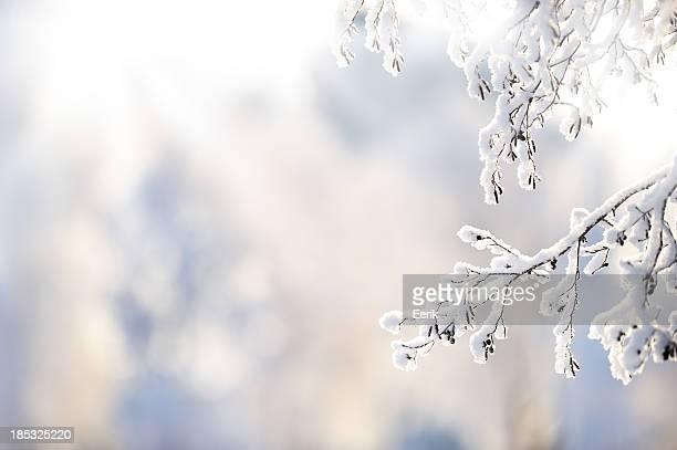 Ramo de inverno com neve Coberta