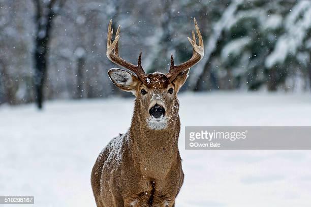 winter buck - ottawa stock-fotos und bilder