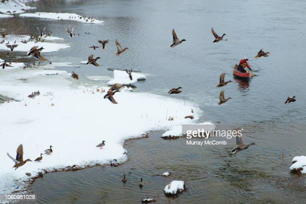 winter canoeist passing under mallard ducks in flight - murray mccomb stock pictures, royalty-free photos & images