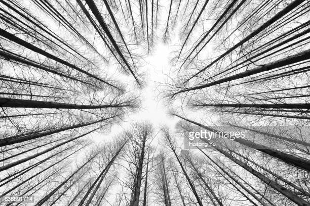 winter cedar forest in black and white - qingdao beach stock pictures, royalty-free photos & images