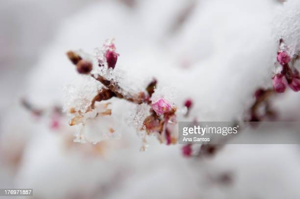 Winter chill during the spring season leaves cherry blossom buds covered in ice and snow.