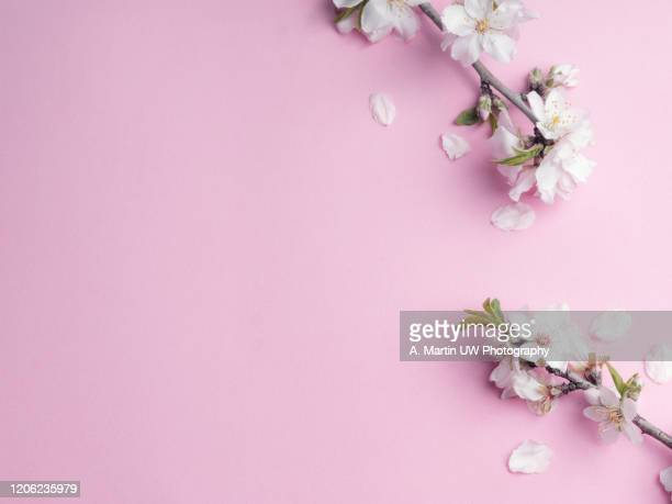 winter composition. photo frame almond flowers on pink background. autumn, winter concept. flat lay, top view. - flower head stock pictures, royalty-free photos & images