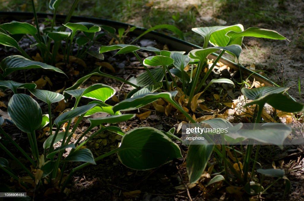 winter creeper plant lighten by sun, low light : Stock Photo
