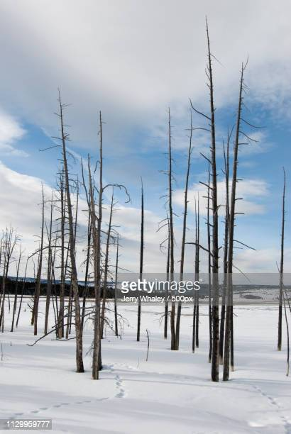 Winter, Dead Trees In Fountain Paint Pots Area, Yellowstone Np