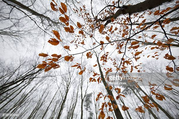 Winter deciduous forest in fog, winter foliage, frost