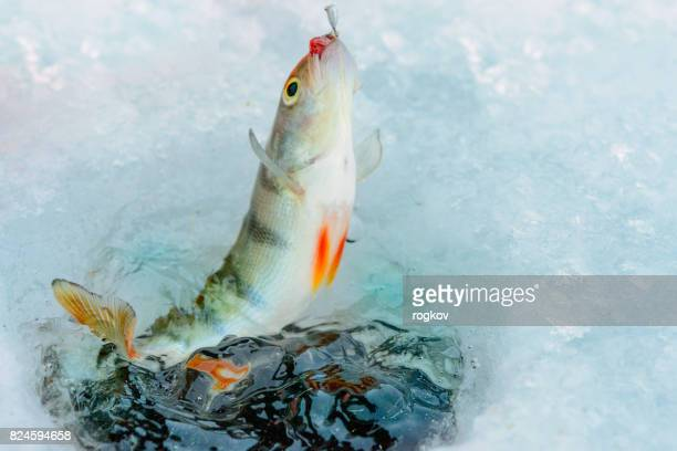 winter fishing.sea bass fishing lure. - largemouth bass stock pictures, royalty-free photos & images