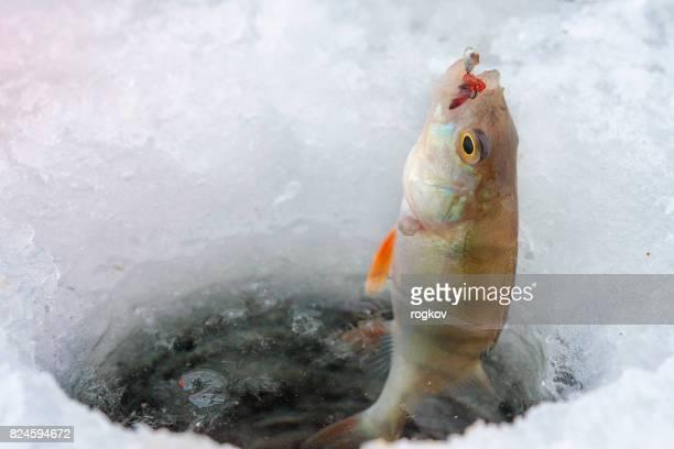 Winter fishing.Sea bass fishing lure.