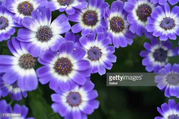 winter flower blue pansies - st. paul minnesota stock pictures, royalty-free photos & images