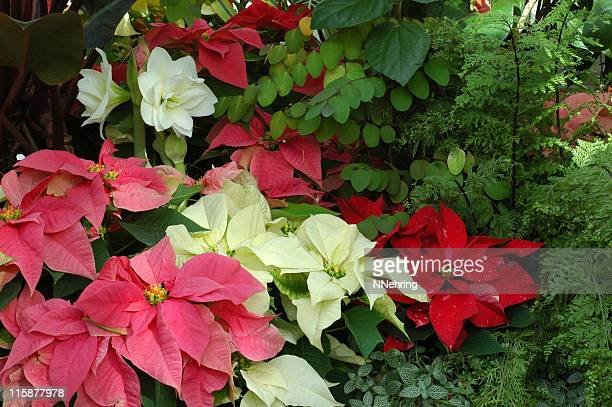 winter flowers, poinsettias and amaryllis - christmas star stock photos and pictures