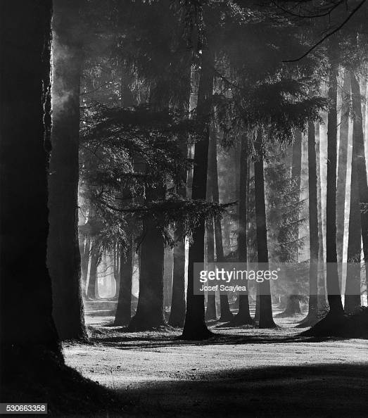 Winter Fog Engulfs A Grove Of Douglas Fir Trees Since Cut Down For A News Photo Getty Images