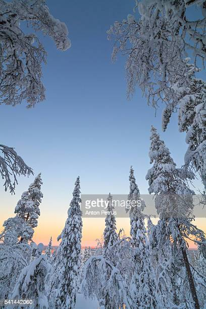 Winter forest at dawn. Finland