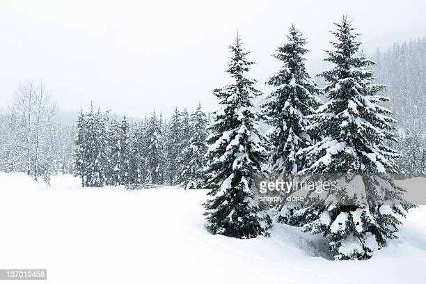 xl winter forest blizzard - evergreen stock pictures, royalty-free photos & images
