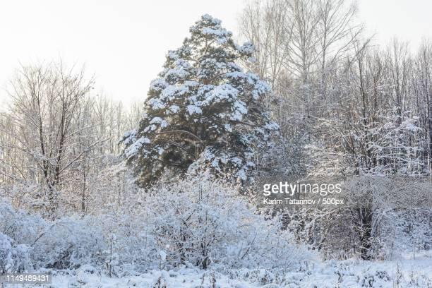 winter forest, grove, trees in the snow - karim bonnet photos et images de collection