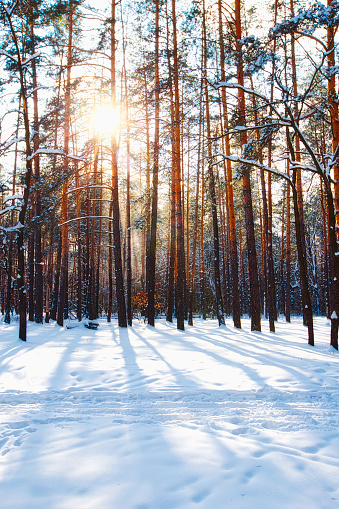 Winter forest landscape in sunny day - gettyimageskorea