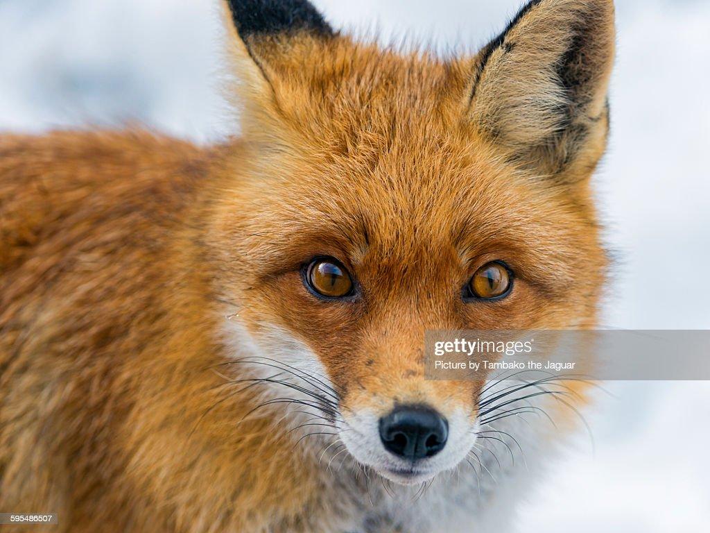 Winter fox portrait : Stock Photo