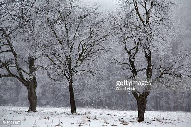 Winter, frost, trees