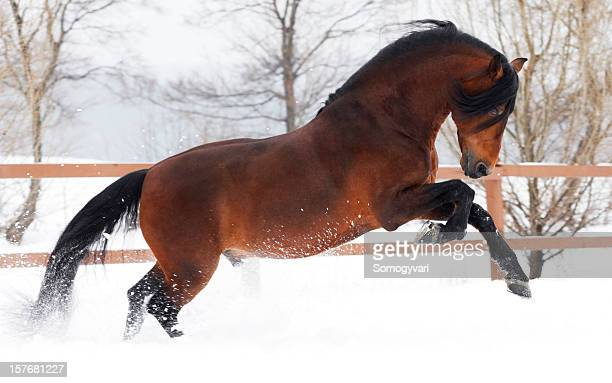 winter gallop - thoroughbred horse stock photos and pictures