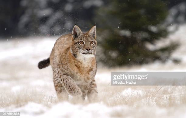 winter games of young lynx - czech hunters stock pictures, royalty-free photos & images