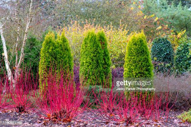 a winter garden planting of thuja occidentalis evergreen trees with cornus alba 'westonbirt', dogwood red stems - winter stock pictures, royalty-free photos & images