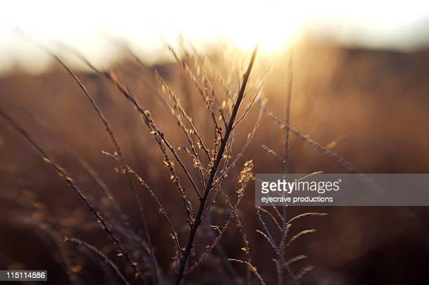 winter grass at sunset