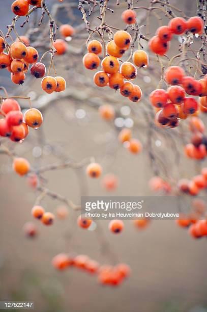 Winter hawthorn berries (Crataegus) with raindrops
