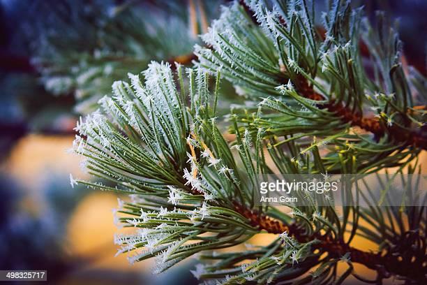 Winter hoarfrost (air hoar) on pine needles