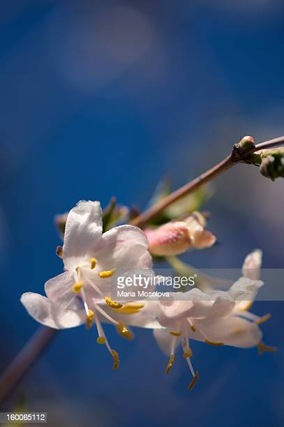 winter honeysuckle in bloom. blue sky - honeysuckle stock pictures, royalty-free photos & images