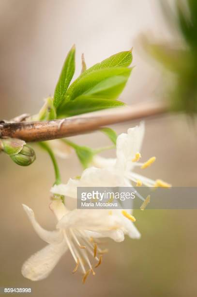 winter honeysuckle in bloom - honeysuckle stock pictures, royalty-free photos & images