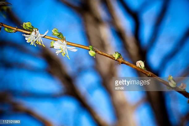 Winter Honeysuckle (Lonicera Fragrantissima)