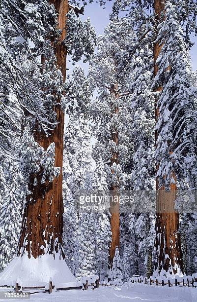 winter in sequoia national park - sequoia national park stock pictures, royalty-free photos & images
