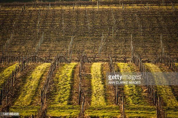 Winter in vineyards