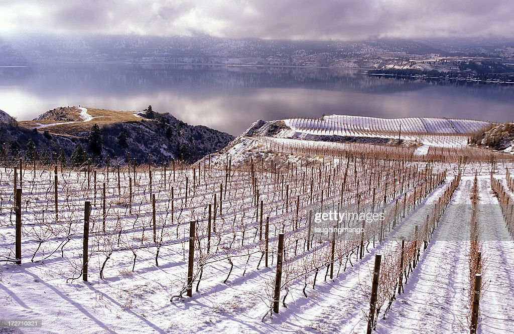 Winter landscape of a vineyard in Okanagan valley : Stock Photo
