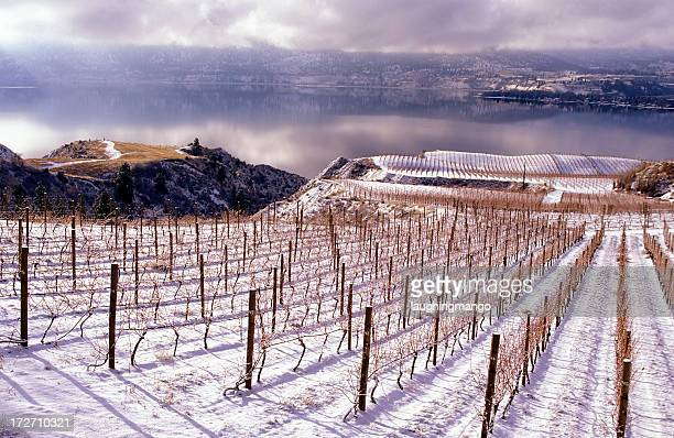 winter landscape of a vineyard in okanagan valley - chardonnay grape stock photos and pictures