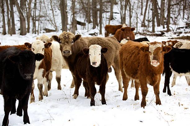 winter livestock cattle series