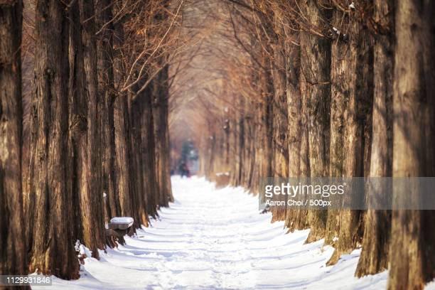 Winter Metasequoia Road