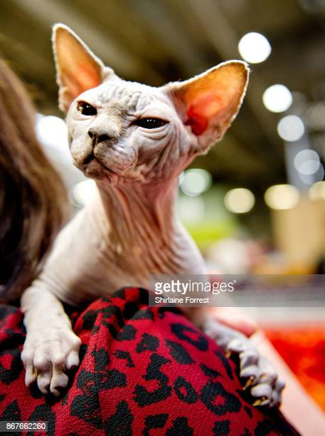 Winter Mistry Frodo a Sphynx kitten Cat participates in the GCCF Supreme Cat Show at National Exhibition Centre on October 28 2017 in Birmingham...