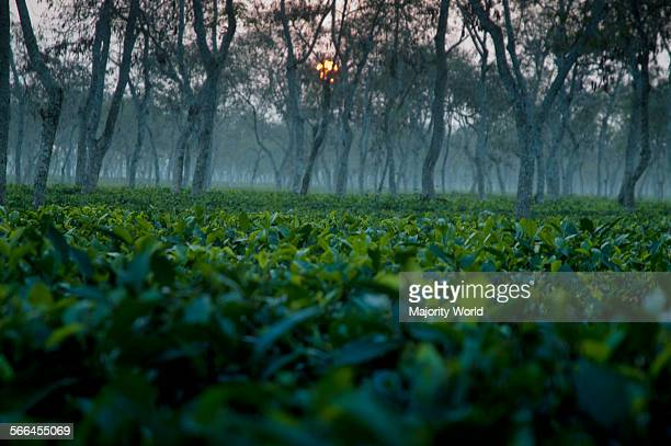 A winter morning in the Finlay Tea Estate Srimongol Bangladesh produces and exports a large quantity of high quality tea Most of the tea plantations...