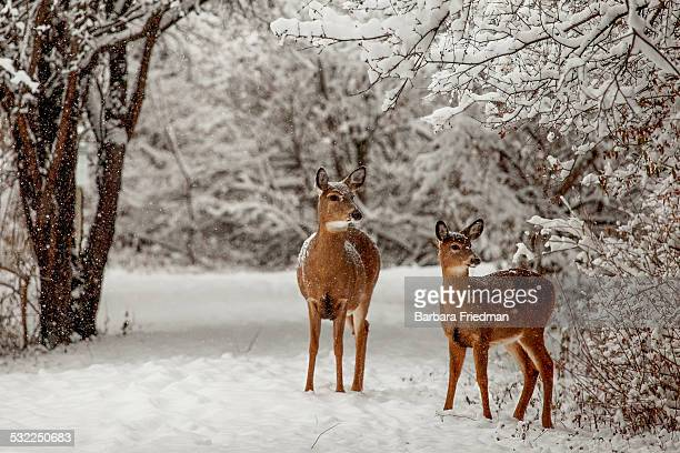 winter morning with two deer - biche photos et images de collection