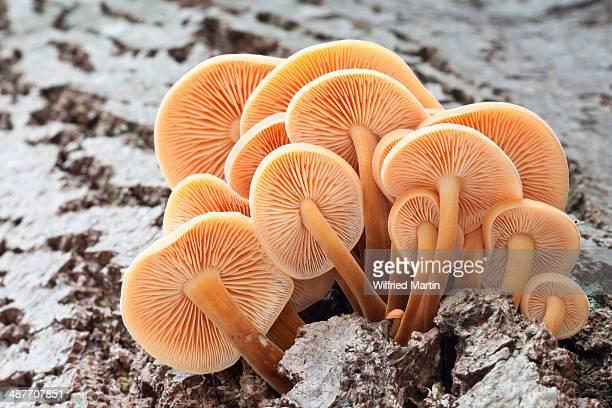 winter mushrooms -flammulina velutipes-, north hesse, hesse, germany - enoki mushroom stock pictures, royalty-free photos & images