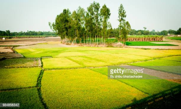 winter nature and agriculture in bangladesh - winter bangladesh stock photos and pictures