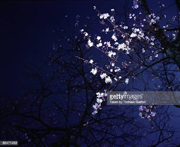 Winter Night Cherry Blossoms
