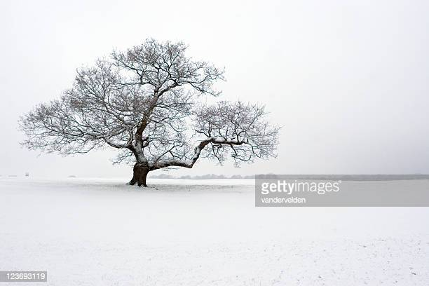 winter oak in the snow - bare tree stock pictures, royalty-free photos & images