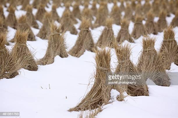 Winter on the rice paddies