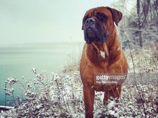 winter - bull mastiff stock pictures, royalty-free photos & images