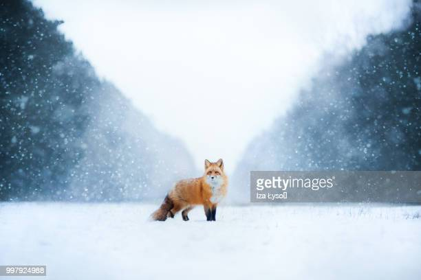 winter - fox stock pictures, royalty-free photos & images