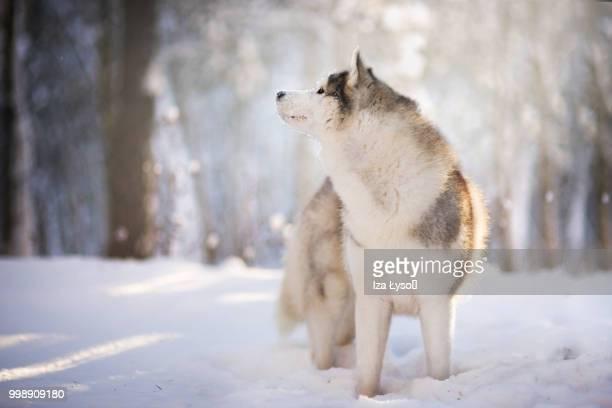 winter - シベリアンハスキー ストックフォトと画像
