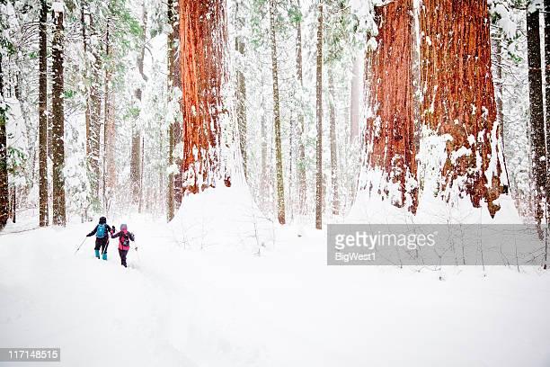 Winter Redwoods