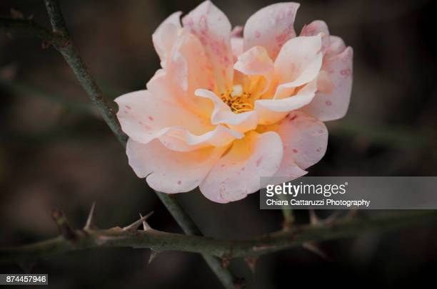 Winter rose flower with thorns