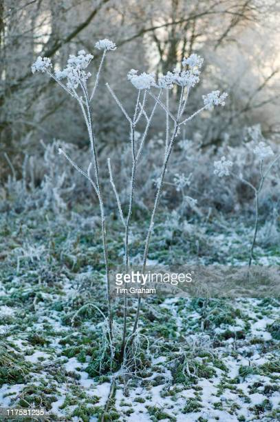 Winter scene hoar frost on Giant hogweed plant in The Cotswolds UK